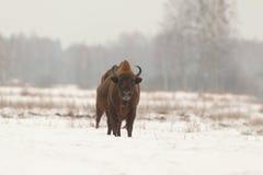 European wild bison Stock Photography