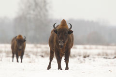 European wild bison Royalty Free Stock Photos