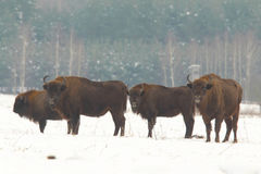 European wild bison Royalty Free Stock Photography