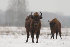 European wild bison Stock Photos