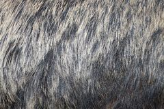European wild boar fur Stock Photos