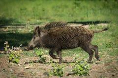 European wild boar Stock Image