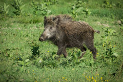 European wild boar. On the grass Royalty Free Stock Photography