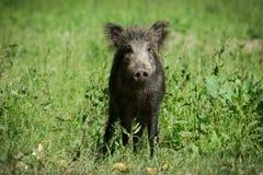European wild boar Stock Photos
