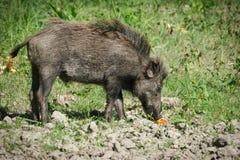 European wild boar Royalty Free Stock Photography
