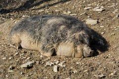 European wild boar in the mud. Wild boar in the mud in the warm summer sun lying stock image