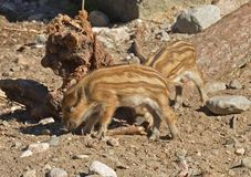 European wild boar piglet with stripes, characteristic feature of piglets in summer. European wild boar piglet with stripes, characteristic feature of piglets royalty free stock photography