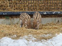 Two funny piglets. European wild boar piglet with stripes, characteristic feature of piglets. Two funny piglets royalty free stock image