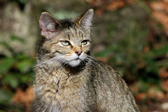 European wild cat Royalty Free Stock Photography