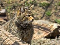 European wild cat, Felis s. silvestris, lives in the woods. One European wild cat, Felis s. silvestris, lives in the woods Stock Photography