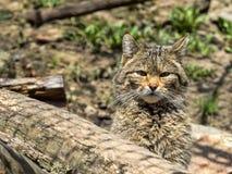 European wild cat, Felis s. silvestris, lives in the woods. One European wild cat, Felis s. silvestris, lives in the woods Royalty Free Stock Images