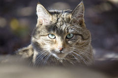 European Wild Cat ,Felis silvestris Stock Image