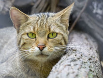 European wild cat (Felis silvestris silvestris) royalty free stock images