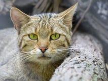 European wild cat (Felis silvestris silvestris) Royalty Free Stock Images