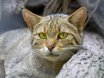 European wild cat (Felis silvestris silvestris) royalty free stock photos