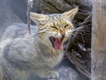 European wild cat (Felis silvestris silvestris) Stock Images