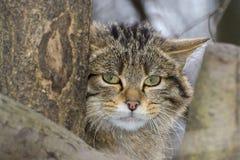 European wild cat Stock Photography