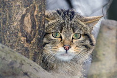 European wild cat stock photography