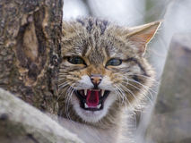 European wild cat Stock Image