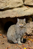 European Wild Cat (Felis silvestris) sitting. Stock Photos