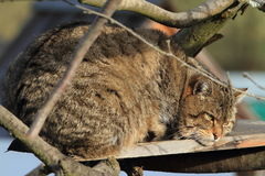 European Wild Cat or Forest Cat Stock Photo
