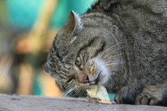 European Wild Cat or Forest Cat Royalty Free Stock Photos