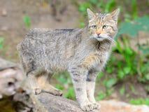 European wild cat Royalty Free Stock Image