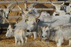 European wild cow. Podolian cow originates directly from European wild cow Stock Photos