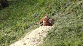 European wild fox cubs playing near the den