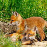 European wild fox youngster