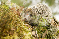 European wild hedgehog in the woods Royalty Free Stock Image