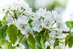 European wild pear Pyrus pyraster tree flowers Royalty Free Stock Photo