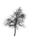 European Wild Pear silhouette Stock Image