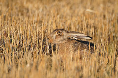 European wild rabbit Royalty Free Stock Photo