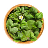 European wild strawberry leaves in wooden bowl. With single white flower. Fragaria vesca. Fresh green edible leaves, used for teas and salads. Macro food photo Stock Images
