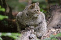 European Wildcat Royalty Free Stock Photography