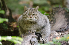 European Wildcat Royalty Free Stock Images