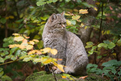 European wildcat. Sitting on a rock Royalty Free Stock Photos