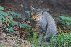 European wildcat. Sitting in the grass Royalty Free Stock Photos