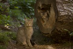European Wildcat familly - mother and kittens. European Wildcat Felis Silvestris - mother and two small, fluffy and cute kittens out of the den to explore the royalty free stock photos