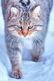 European wildcat & x28;Felis silvestris& x29; in natural habitat stock photography