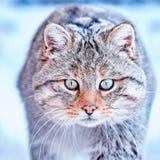 European wildcat Felis silvestris in natural habitat royalty free stock images