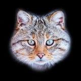 European wildcat Felis silvestris in natural habitat stock photos