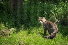 European Wildcat Felis silvestris silvestris Royalty Free Stock Photo