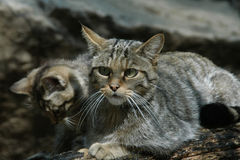 European wildcat Stock Image