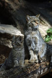 European wildcat Stock Images
