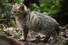 European wildcat (Felis silvestris silvestris) kitten. Stock Photo