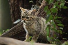 European wildcat (Felis silvestris silvestris) kitten. Wild life animal Royalty Free Stock Images
