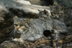 European wildcat Stock Photos