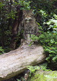 European Wildcat (Felis silvestris  silvestris). Sitting on a log Stock Images